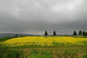 山本山の菜の花2009.5/8